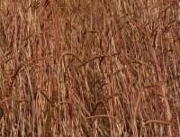 Organic Spelt (dinkel wheat)