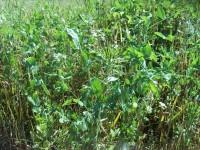 Organic Field peas