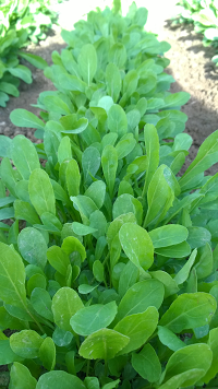 Arugula or Salad Rochet