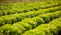 Batavia Green Lettuce